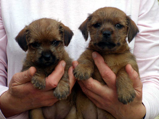 chiots Norfolk terrier